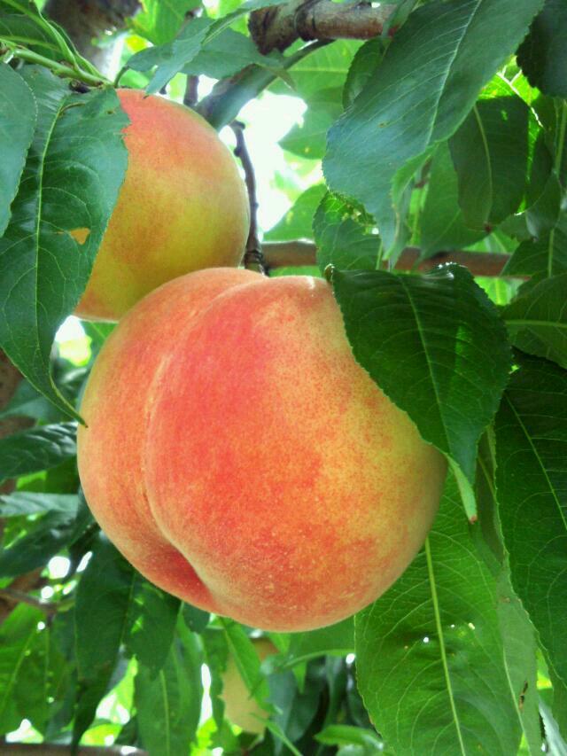 品種によって固さが違う!固い桃の特徴とおすすめの食べ方の画像